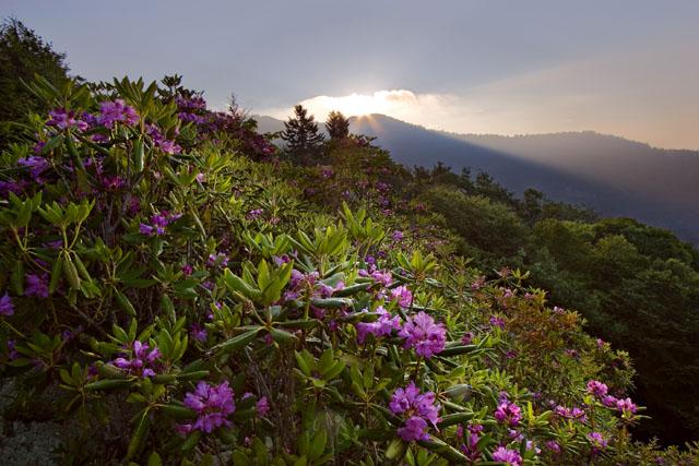 rododendroni kasvutingimused