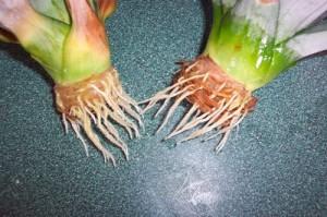 Ananassi kasvatamine