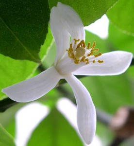 sidrunipuu kasvatamine