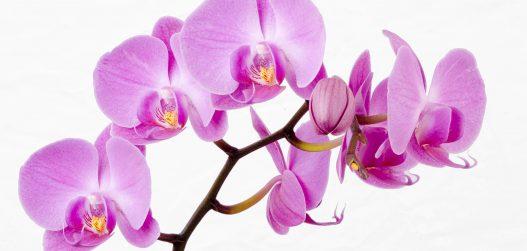 orhidee_õied_1