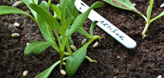 Artishoki noor taim 3 nädalat peale külvamist