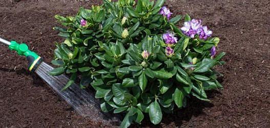 Rododendronite kasvatamine