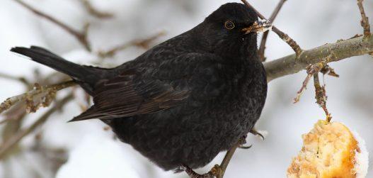 linnud söögimajas_rästad-1