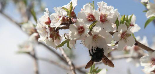 Kirsipuude hooldamine