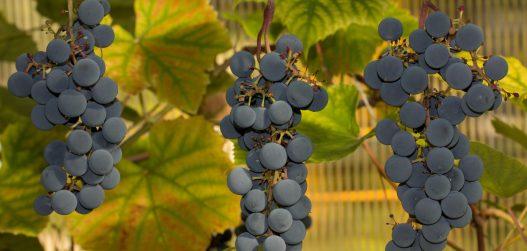viinamarjade kuivatamine